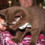 Котенок-британец