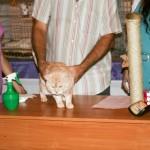 Кремовый кот